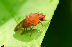 fruitvliegjes op blad bestrijden