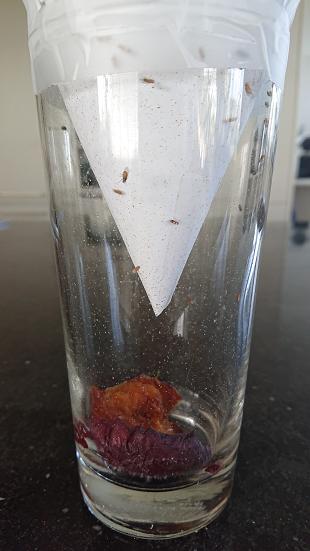 fruitvliegjes val zelf maken deel 2