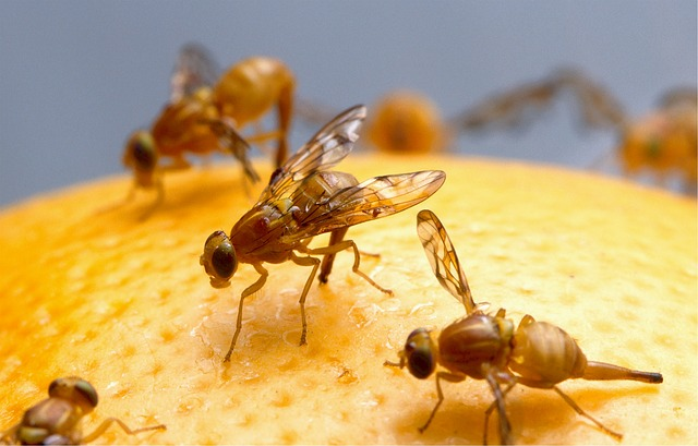 diervriendelijke manier om Fruitvliegjes te bestrijden